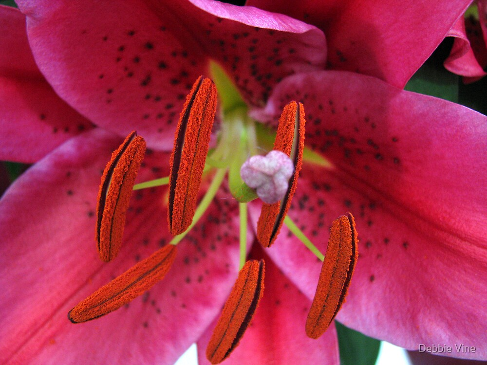 Pink Lilly by Debbie Vine