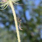 Mantis Climbing by Ed Michalski