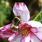 Bee & Cosmos by AnnDixon
