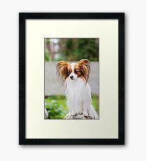 Portrait of a papillon purebreed dog  Framed Print