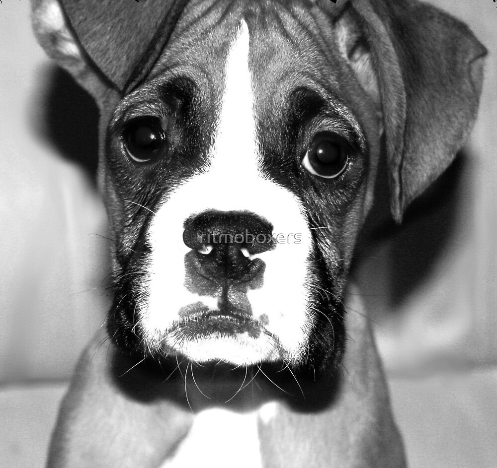 Boxer puppy  by ritmoboxers