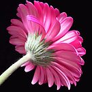 Pink gerbera...2 by Magee