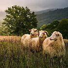 sheep grazing in a fog near old oak by mike-pellinni