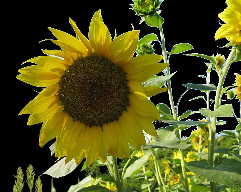 Sunflower in black by John Thurgood