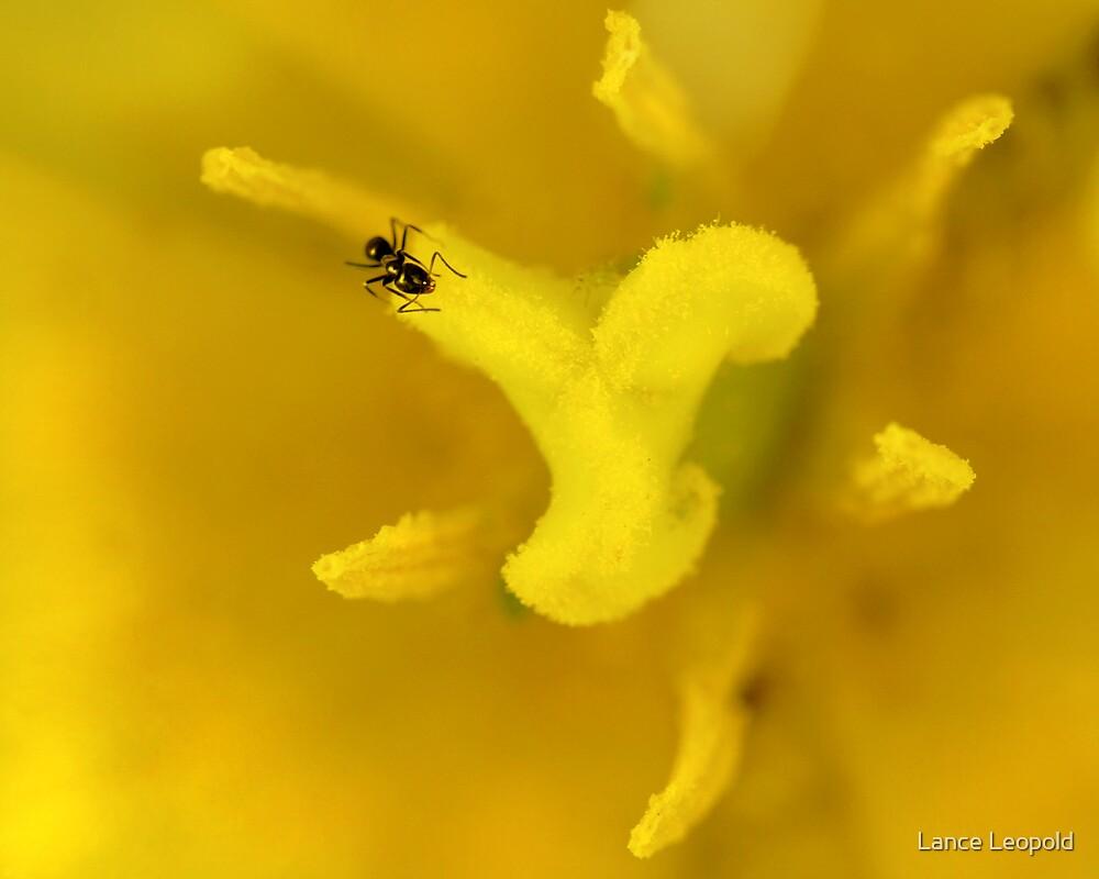 Triumph Ant by Lance Leopold