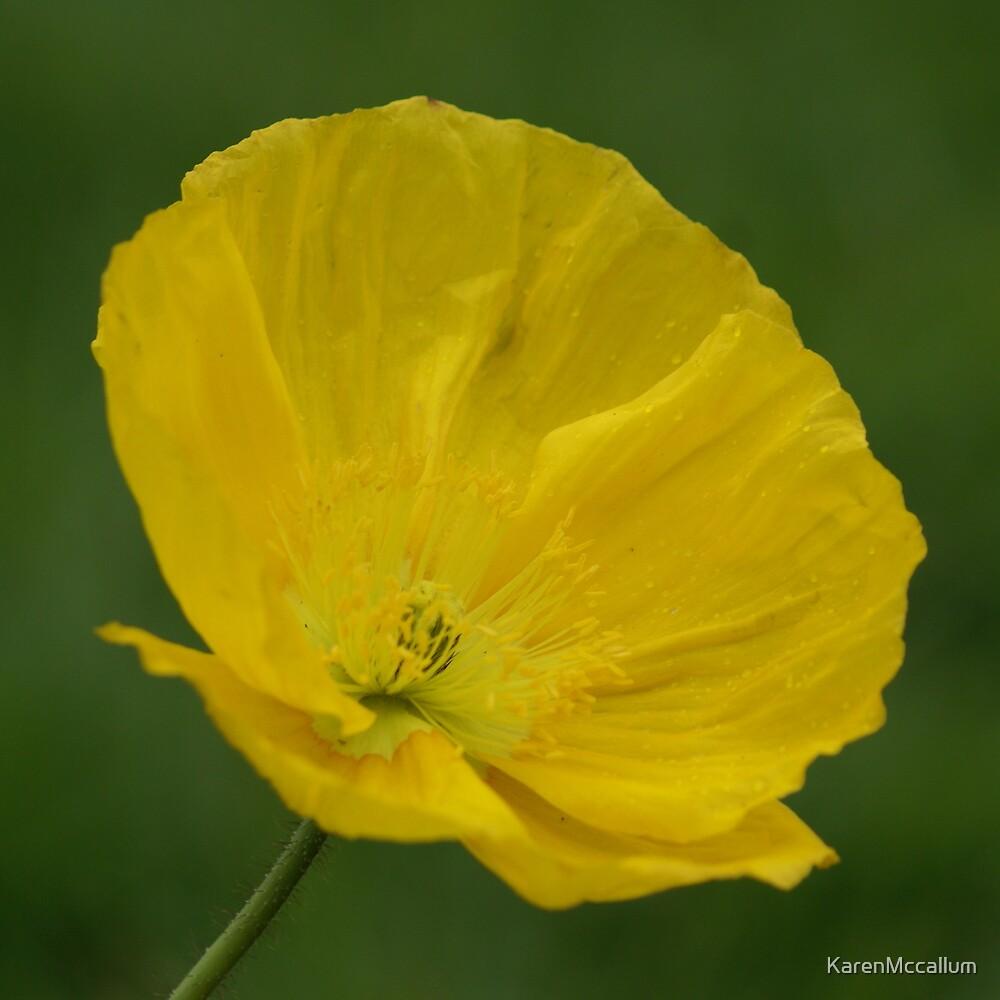 Yellow Poppy by KarenMccallum