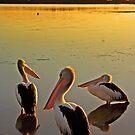 Pelicans Three by engride