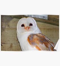 Barn Owl (In a barn) Poster
