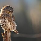 Pygmy Owl 2 by Tracy Friesen
