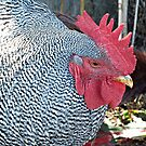Barred Rock Rooster by Ethna Gillespie