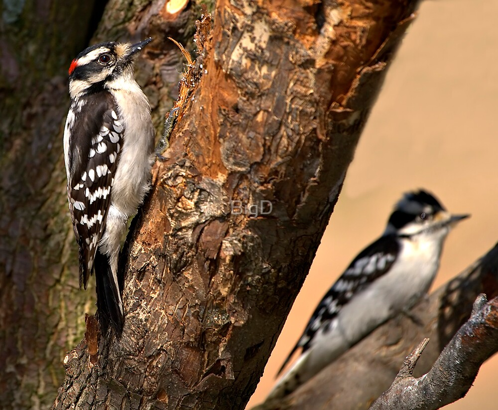 Downy Woodpeckers by BigD