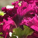 Burgundy Petunias by Lucy Hollis