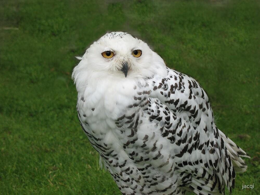 Snowy Owl by jacqi