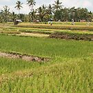 Fields, Ubud.  by Michael Stocks