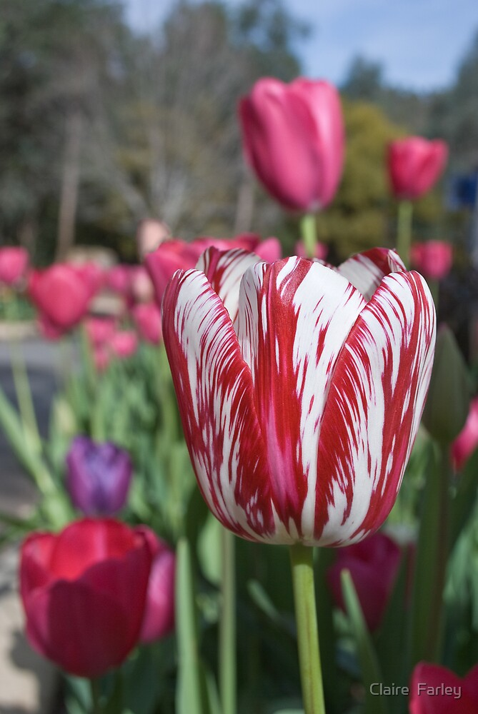 Two Toned Tulip by Claire  Farley