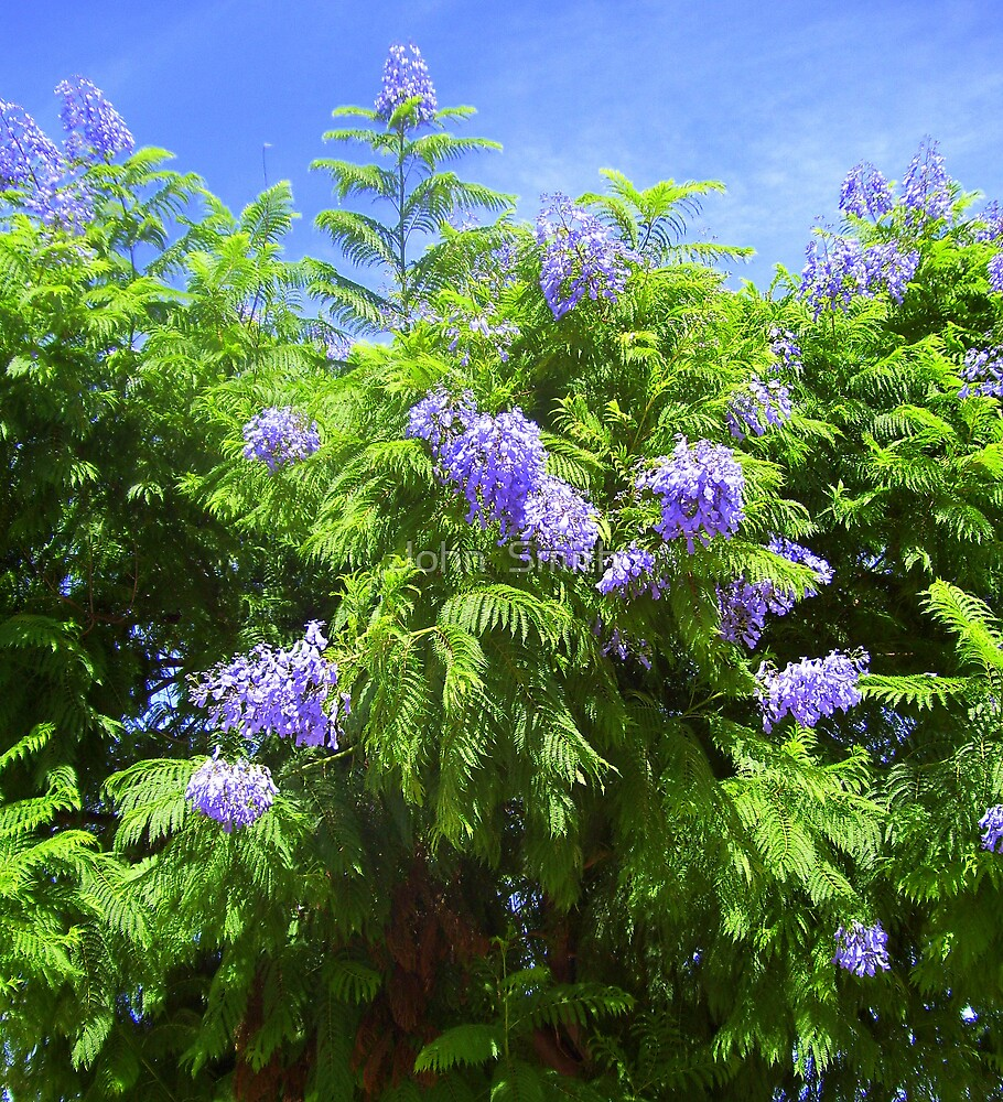 """ Jacaranda."" by John  Smith"