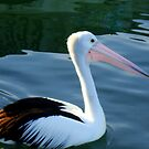 Up close with a Pelican by Of Land & Ocean - Samantha Goode