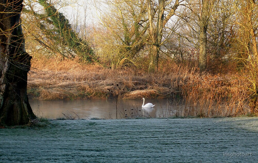 Swan on River Stour by irisphotoart
