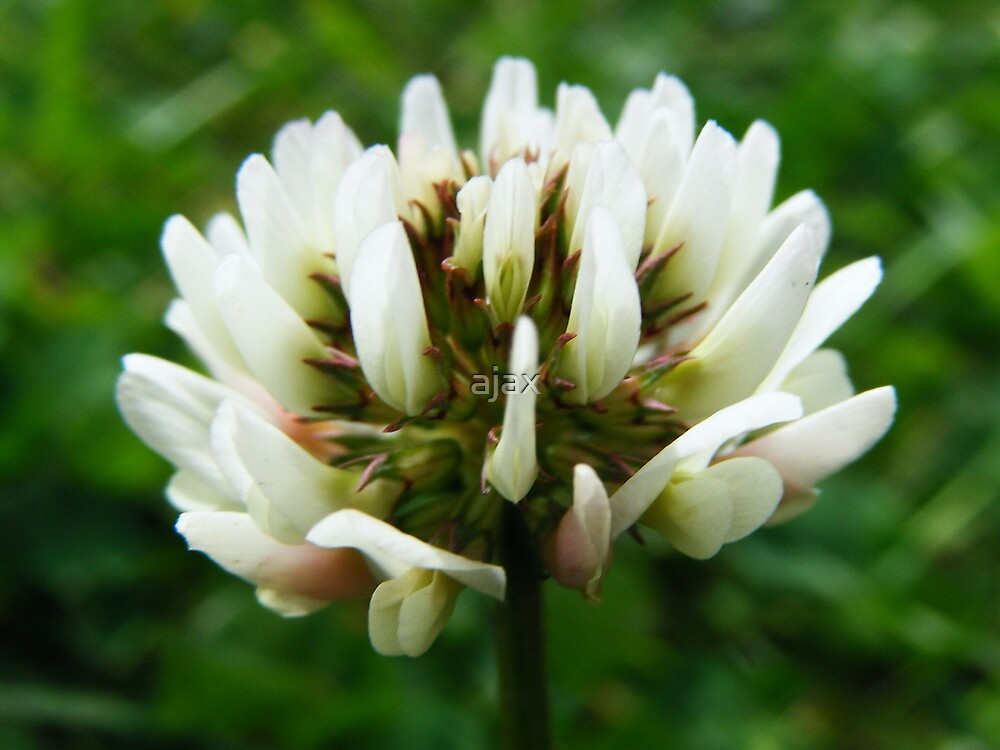 clover by ajax