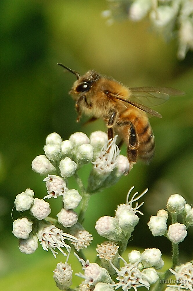 Bee on White by mwfoster