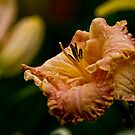 """Inherited Wealth"" Daylily by Michael Cummings"