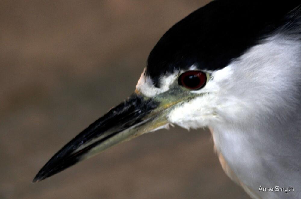 Black Crowned Night Heron by Anne Smyth