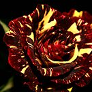 Yellow Red Rose by RockyWalley