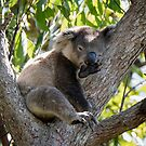 Local Koala taking Time Out by Chris  Randall