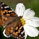 Butterfly on White Cosmos by Lori Peters