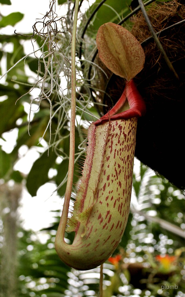 Pitcher Plant by plumb