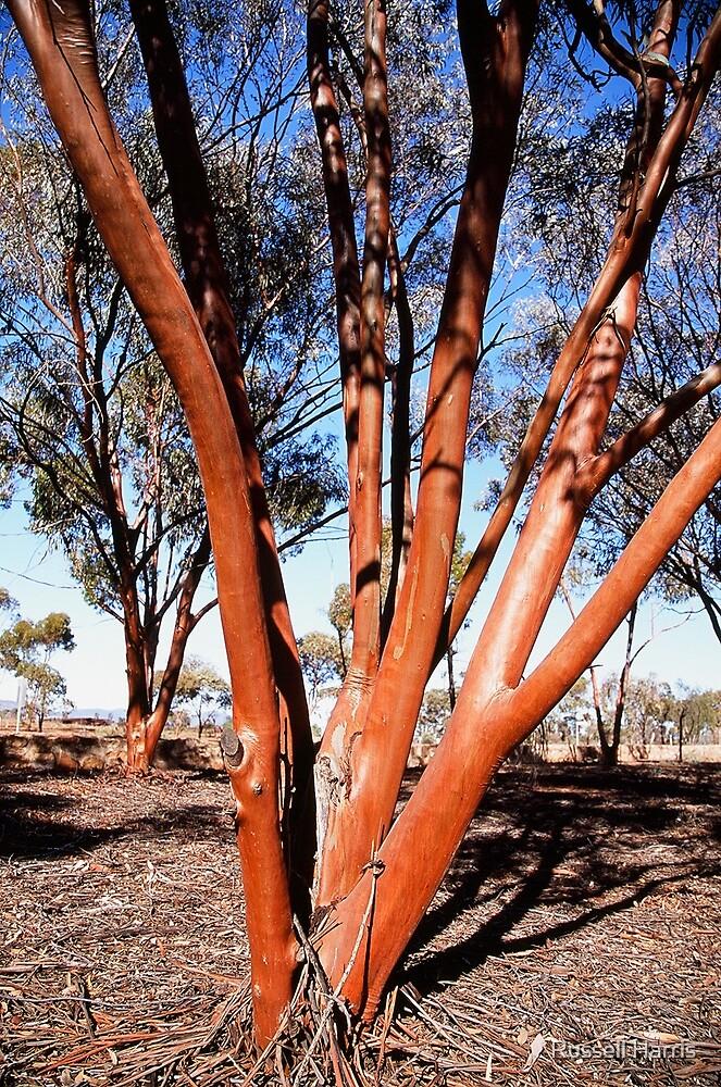 Red tree in Flinders ranges SA by Russell Harris