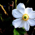 """Wind Flower . . "" by lurline"