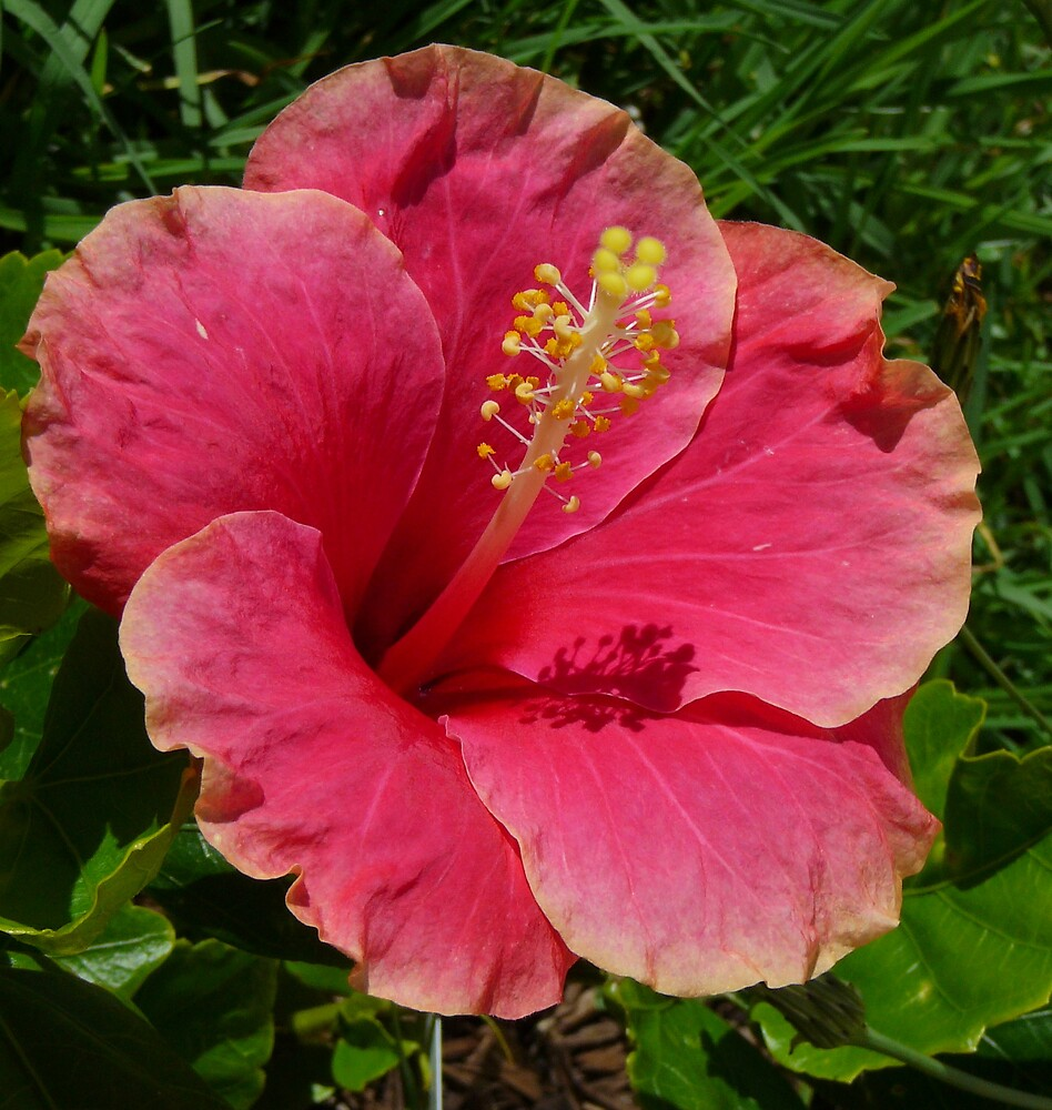 Hawaiian Hibiscus by Shelley Karutz