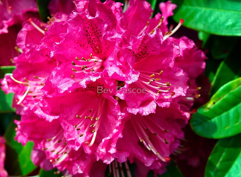 Rhododendron of Pink by Bev Pascoe
