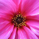 Pink Dahlia Supermacro by BlueMoonRose