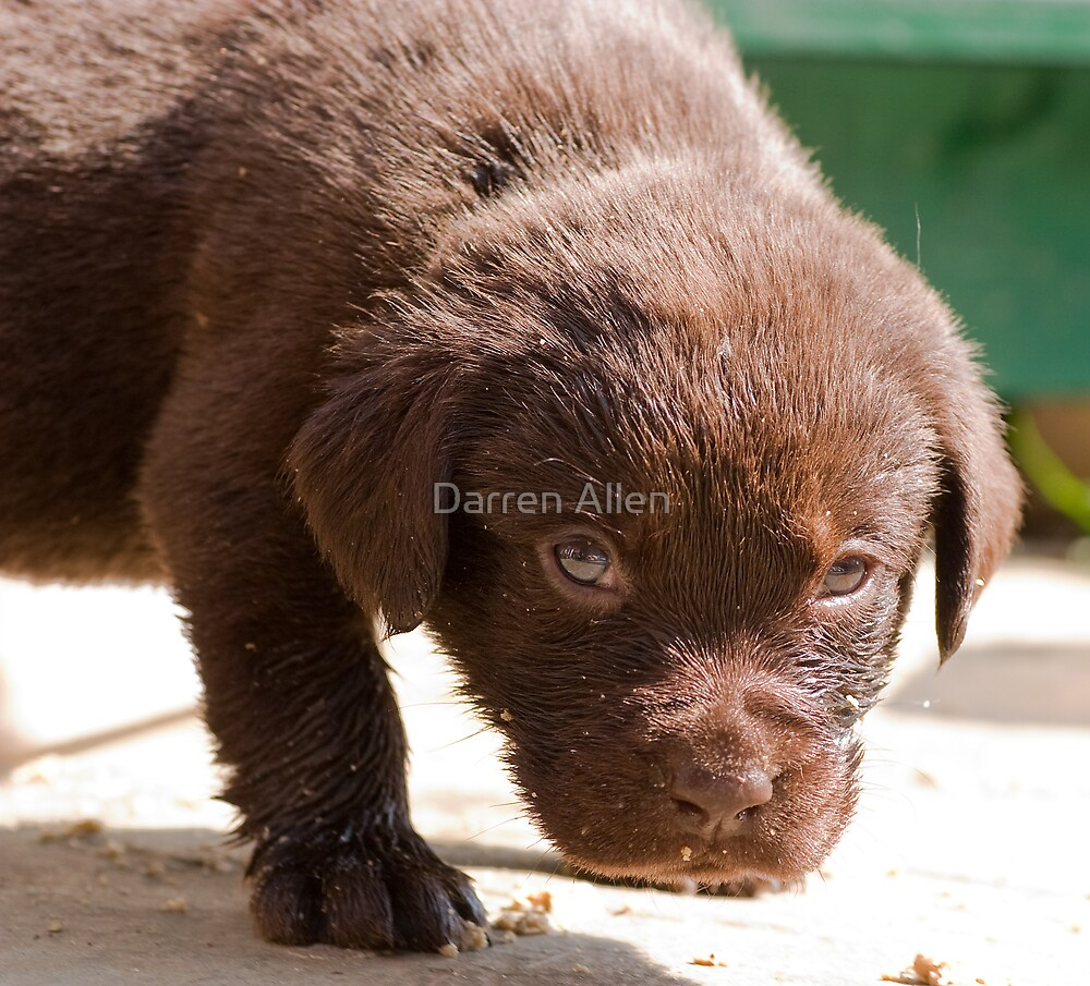 Chocolate Labrador Puppy 07 by Darren Allen