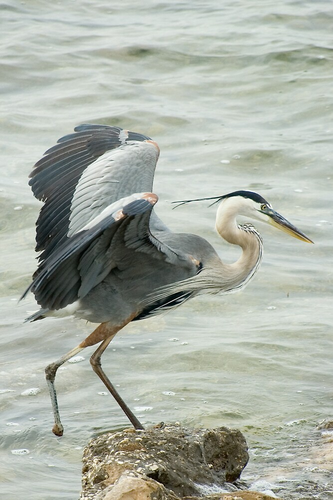 Blue Heron 2, PInellas Cty by FloridaWorld