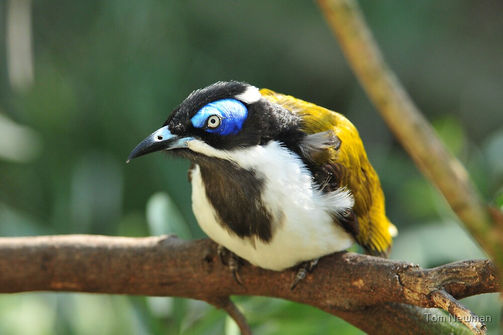 Quot Blue Faced Honeyeater Quot By Tom Newman Redbubble