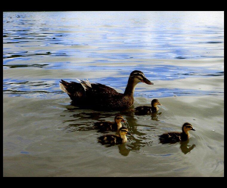 Ducks by Boboletah