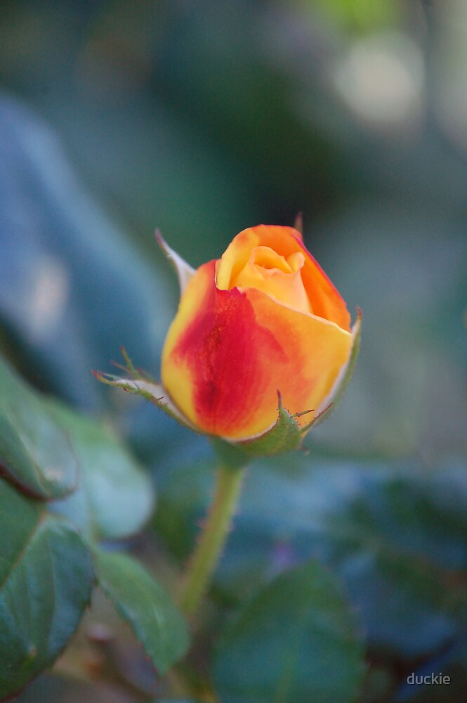 fall rose by duckie