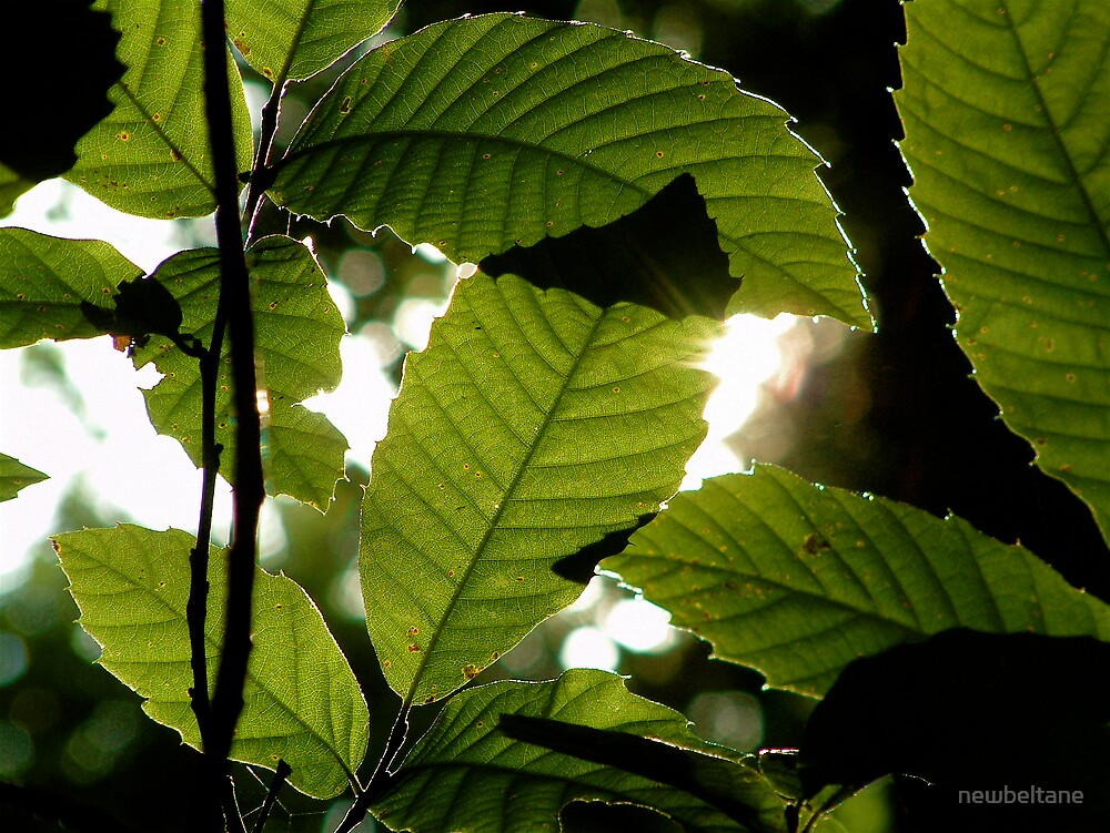 Sunlight through leaves in Friday Woods by newbeltane