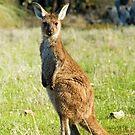 Kangaroo by SusanAdey