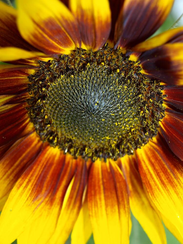 Sunflower by steve keller