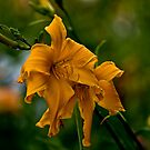 """Jersey Spider"" Daylily by Michael Cummings"