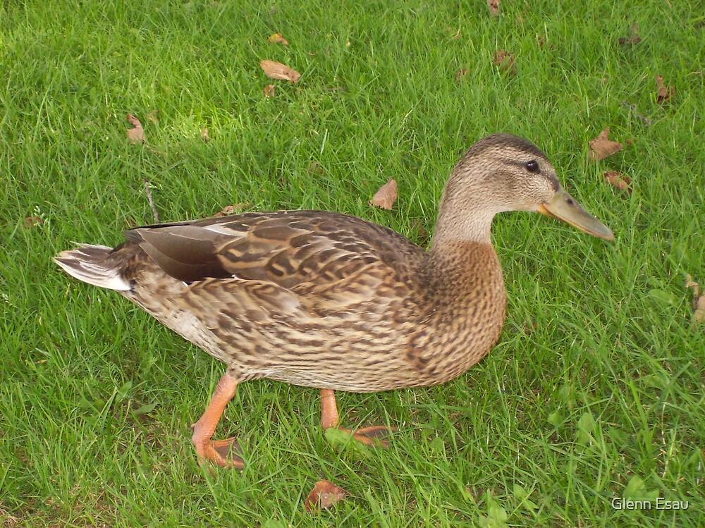 Curious Duck by Glenn Esau