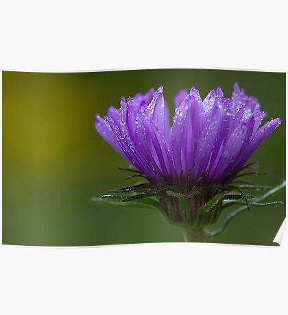 Sheer Purple Poster