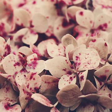 Hydrangea pink freckles  by Ingz