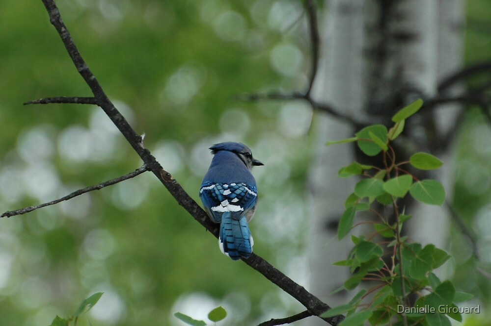 Blue Jay by Danielle Girouard
