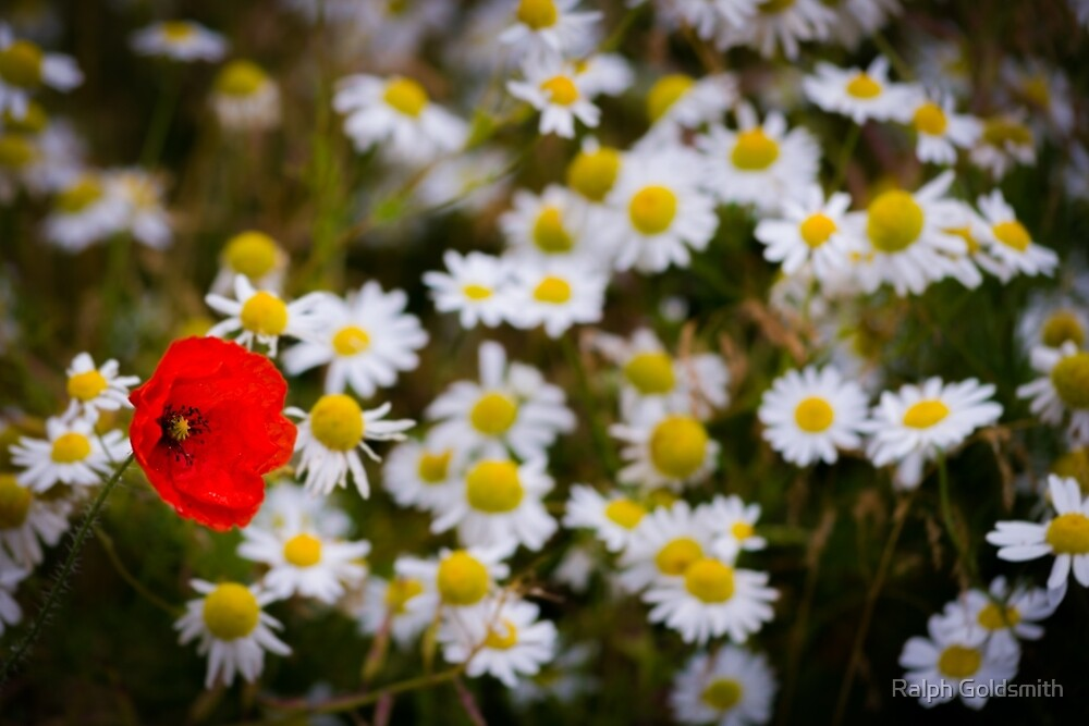 One Poppy and Daisies by Ralph Goldsmith