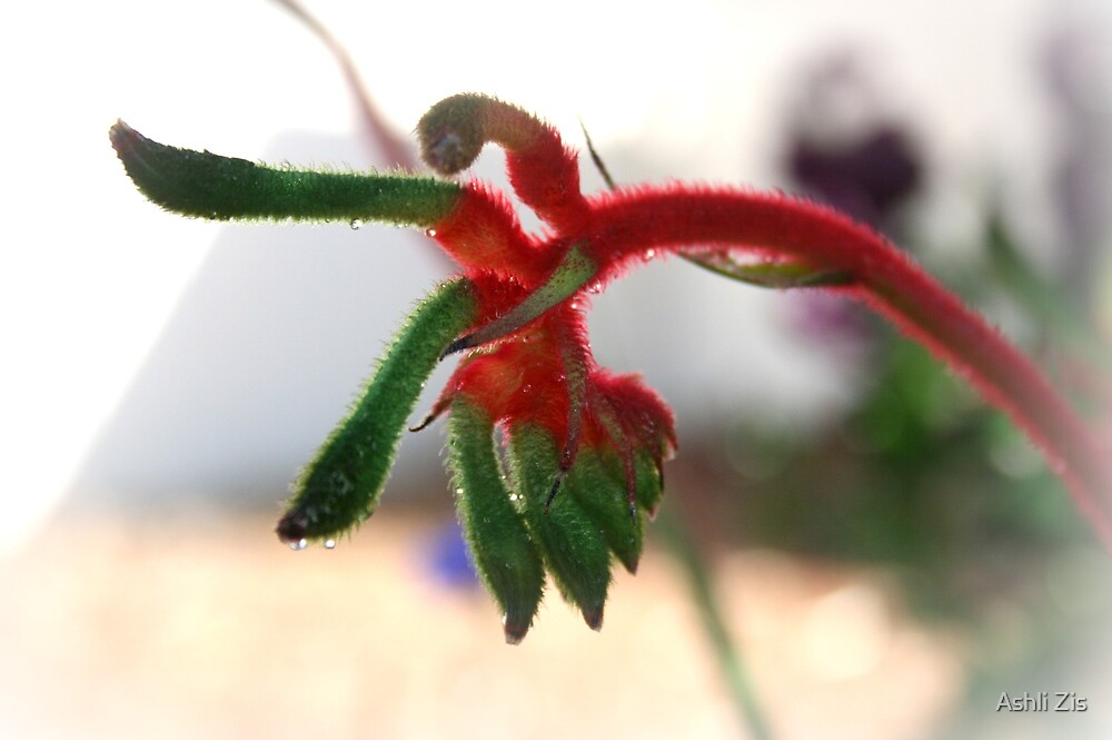 Kangaroo Paw by Ashli Zis